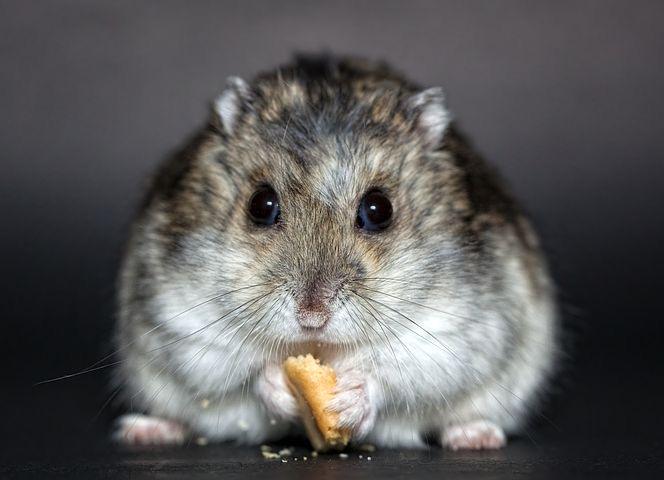hamster fleurs de bach animaux