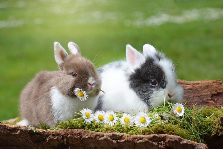 lapins communication animale